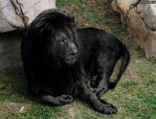 Nesli Tükenmiş Siyah Aslan