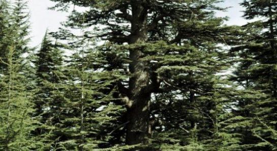 Sedir Ağacı Hakkında