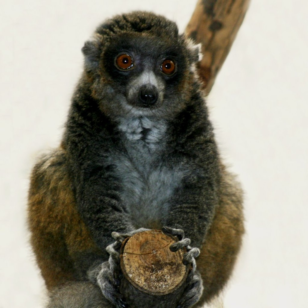 Lemurlar-Gecenin Ruhu