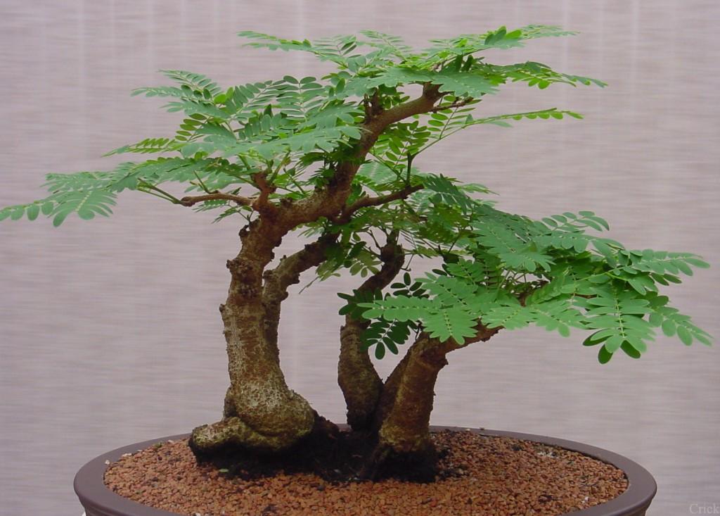 Bonsai Bitkisi - Minyatür Ağaç