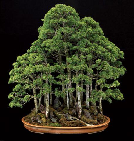 Bonsai Bitkisi 'Minyatür Ağaç