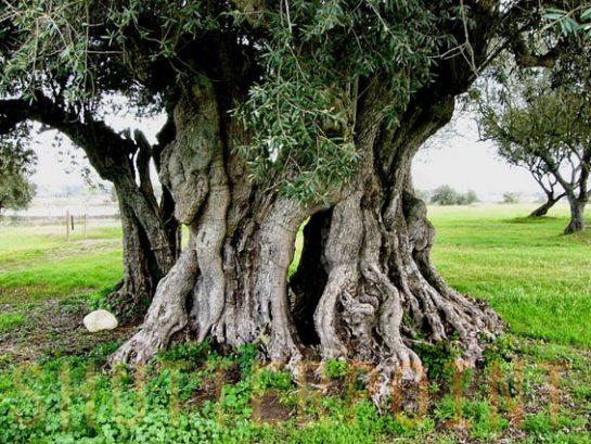 1400 Yıllık Zeytin Ağacı
