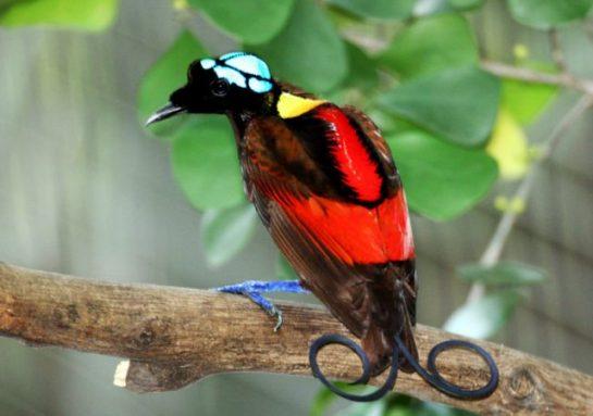 Wilson Cennet Kuşu
