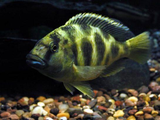 peste-nimbochromis-venustus4