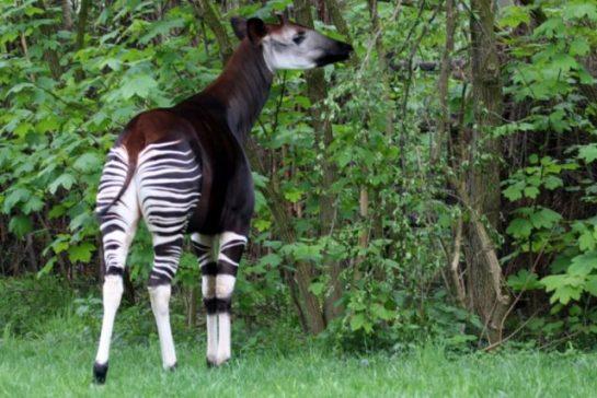 Okapi Tropik Bir Canlı