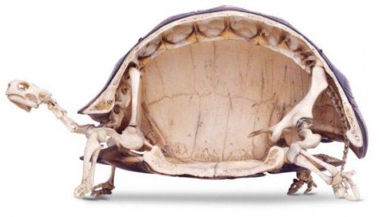 Kaplumbağaların İskelet Yapısı
