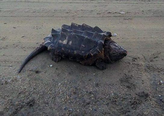 İlk defa gördüğüm Bir Kaplumbağa Nesli (4 Fotograf)