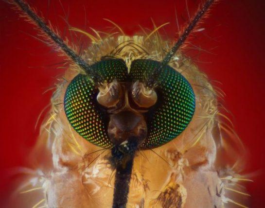 Sivrisineğin Kafasının Detaylı İncelemesi (8 Fotograf)