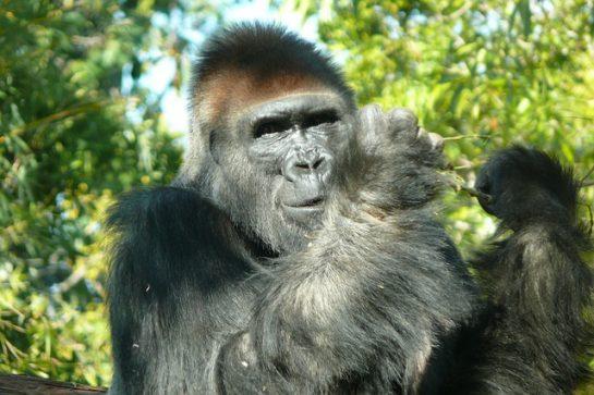 Goril Resimleri (40 Resim)