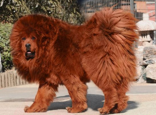 Dünyada En Pahalı Cins Köpek