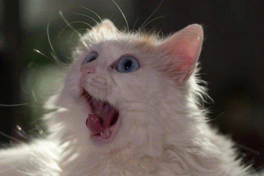 Van Kedisi Resimleri(10 Resim)